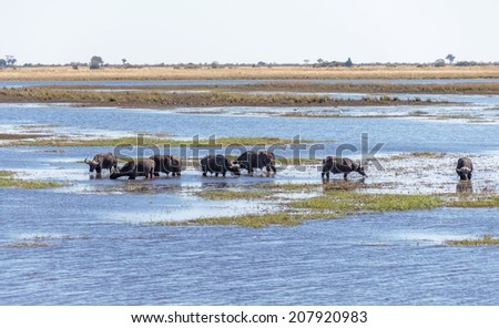 Cape buffalo in water in Chibo river (national reserve) - Botswana, Africa - stock photo