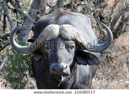 Cape Buffalo (Syncerus Caffer) head close-up - stock photo