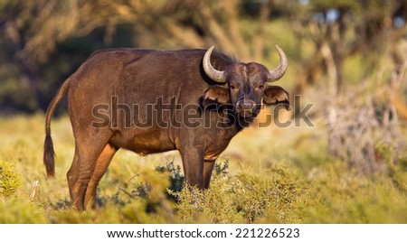 Cape Buffalo (Syncerus caffer) in early morning light, looking at the camera, against a natural african bush setting - stock photo