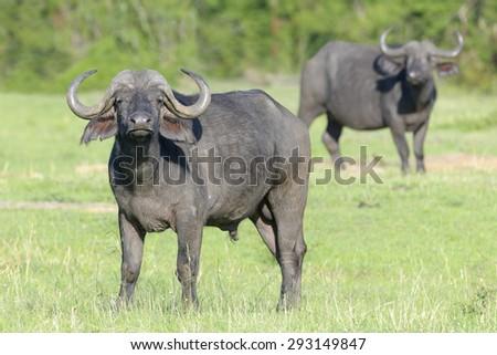 Cape Buffalo (Syncerus caffer) with second buffalo in background standing on savanna, Serengeti National Park, Tanzania - stock photo
