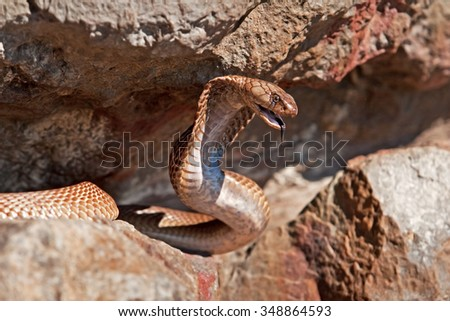 Cape cobra, Naja nivea - stock photo