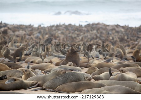 Cape Cross gives breeding ground to about a 100.000 Cape Fur Seals (Arctocephalus pusillus pusillus) a rare and endangered species.  - stock photo