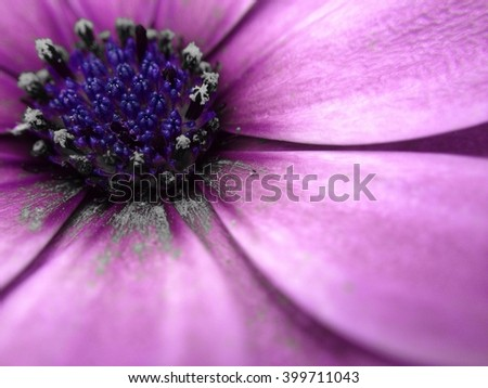 Cape daisy flower colour popped - stock photo