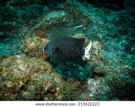 Cape damsel - stock photo