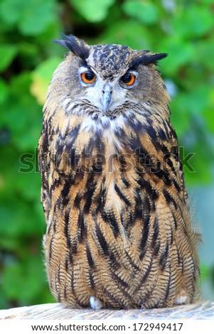 Cape eagle Owl  (Bubo capensis) - stock photo