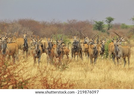 Cape Eland - African Wildlife Background - Great Nomads and Gracious Antelope from the Savanna - stock photo