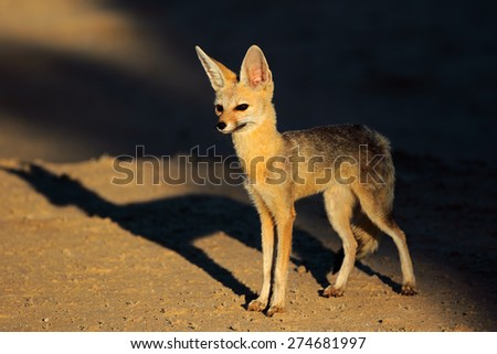Cape fox (Vulpes chama) in late afternoon light, Kalahari desert, South Africa - stock photo
