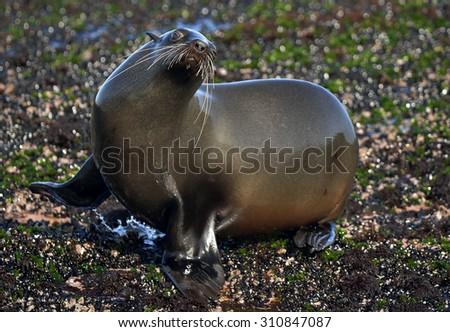 Cape fur seal (Arctocephalus pusillus pusillus) False Bay, Simon's Town South Africa - stock photo
