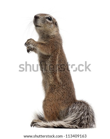 Cape Ground Squirrel, Xerus inauris, standing against white background - stock photo