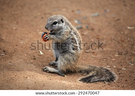 Cape ground squirrel (Xerus inauris). Wildlife animal.  - stock photo