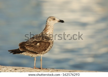 Cape Gull-juvenile-standing-South Africa - stock photo