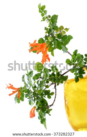 Cape honeysuckle's orange flower blooming(Tecomaria capensis) isolated on white background. - stock photo
