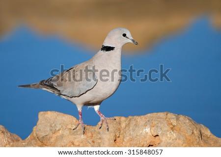 Cape turtle dove (Streptopelia capicola) perched on a rock, Kalahari, South Africa - stock photo