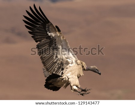 Cape Vulture coming in to land with wings fully extended and feet forward - stock photo