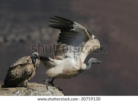 Cape vulture taking off - stock photo