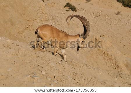 Capra mountain-goat in the dead-see, Ein Gedi,  Israel  - stock photo