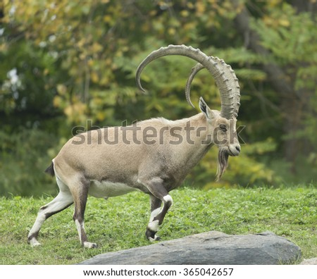 Capra Wild Goat - stock photo