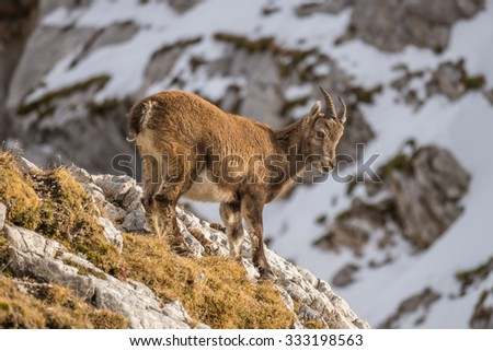 Capricorn in the montains of the Montasio Massif in the Julian Alps - stock photo