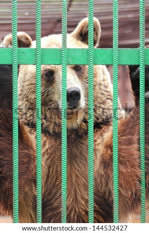 captivity - brown bear closed in zoo cage  - stock photo