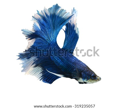 Capture the moving moment of colorful siamese fighting fish isolated on white background. Betta fish - stock photo