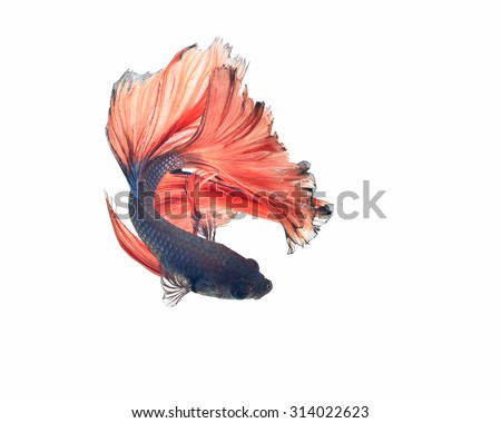 Capture the moving moment of white siamese fighting fish isolated on white background. Betta fish - stock photo