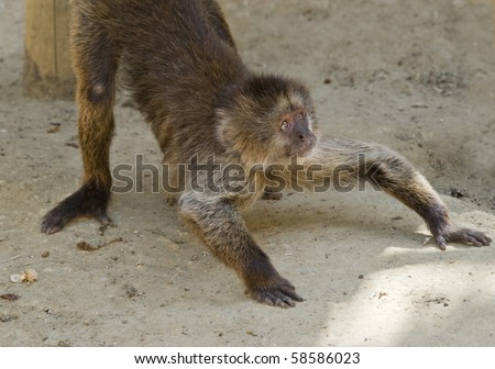 Capuchin Weeper Monkey on all fours - stock photo