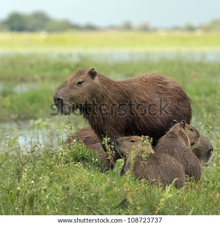 Capybara and her kids in the El Cedral - Los Llanos, Venezuela - stock photo