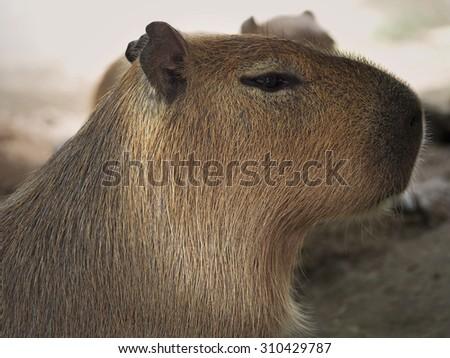 Capybara animal - stock photo