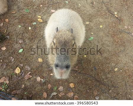 Capybara Cute Face - stock photo