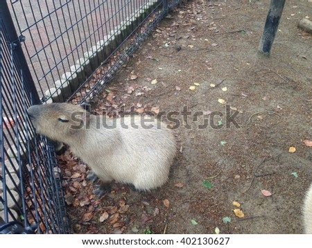 Capybara Cute Small - stock photo