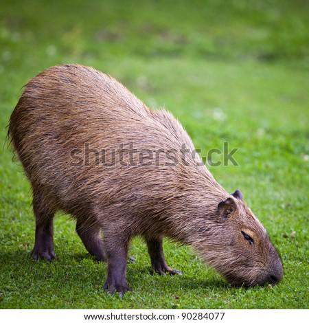 Capybara (Hydrochoerus hydrochaeris) grazing on fresh green grass - stock photo