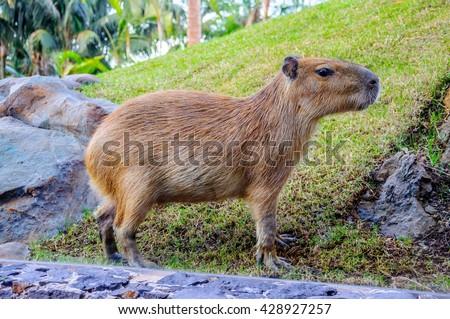 Capybara in Loro Parque, Tenerife, Canary Islands - stock photo
