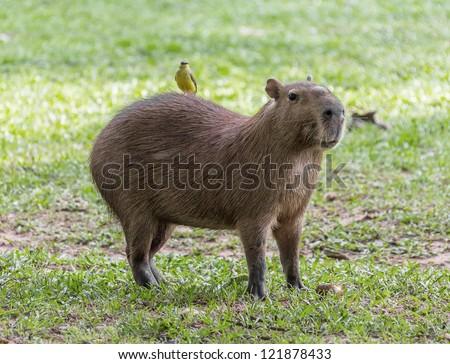 Capybara with a bird on his back - El Cedral, Los Llanos, Venezuela - stock photo