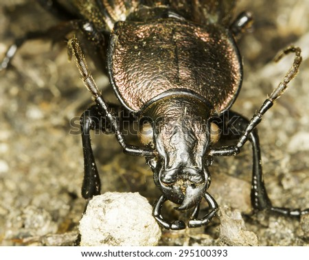 Carabus cancellatus beettle in natural habitat - stock photo