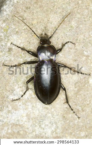 Carabus glabratus / smooth ground beetle close-up - stock photo