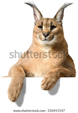 Caracal Behind an Invisible Object - Isolated - stock photo
