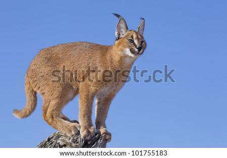 Caracal cat (Felis caracal) on the top of a dead log, South Africa - stock photo