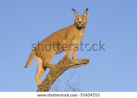 Caracal cat (Felis caracal) ontop of a dead log with a blue sky background, South Africa - stock photo