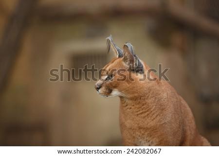 Caracal (Felis caracal) - stock photo