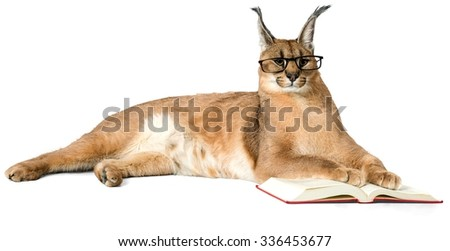 Caracal in Glasses Lying Down with Open Book - Isolated - stock photo