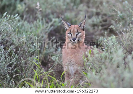 Caracal in the bush - stock photo