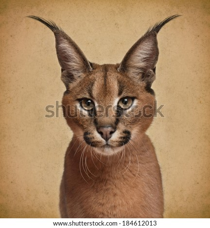 Caracal, 6 months old, in front of brown background - stock photo