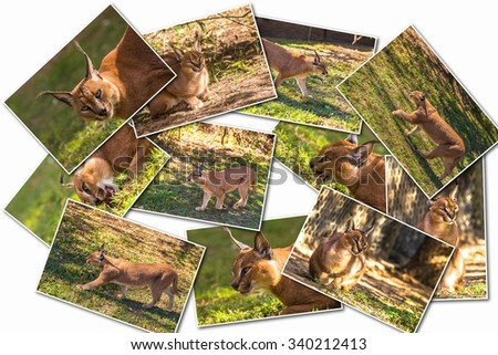 Caracal picture collage isolated on white background. - stock photo