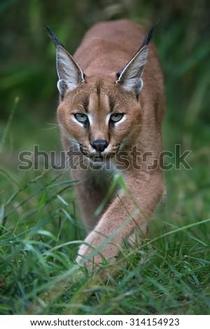 Caracal stalking directly toward viewer through long green grass and foliage/Caracal/Caracal  - stock photo