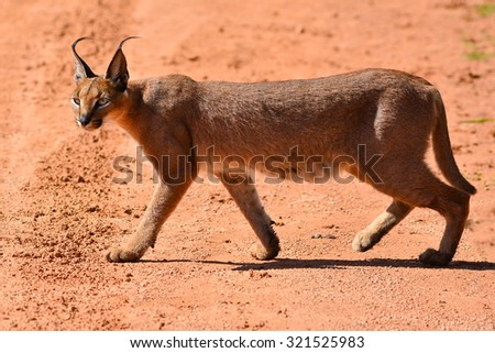 Caracal walking - stock photo