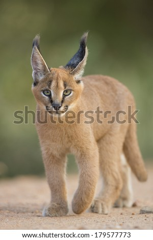 Caracal walking in South Africa - stock photo