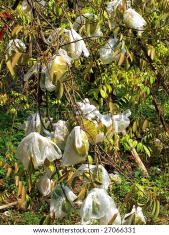 Carambola. In China, farmer pack the starfruits on tree for protecting . - stock photo