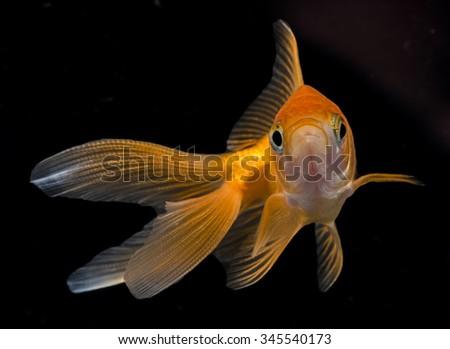 Carassius auratus auratus  - gold fish -  aquarium fish on black background - stock photo