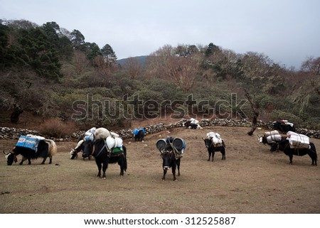 Caravan of yaks in the Nepal Himalaya. The yak (Bos grunniens and Bos mutus) is a long-haired bovid found throughout the Himalaya region of south Central Asia, Tibetan Plateau and Mongolia. - stock photo