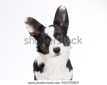 Cardigan Welsh Corgi puppy portrait. The dog breed is a bit rare. Image is taken in a studio. - stock photo